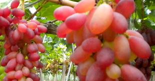 美人指葡萄