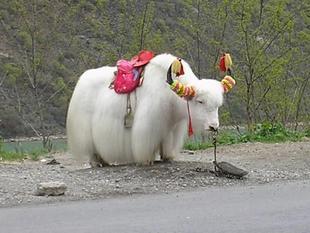 供应骑乘白牦牛
