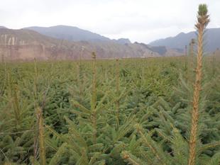 急售乔木青海云杉3年到二十年原床苗  移植苗   定植苗  行道树