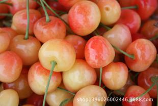 肉质鲜嫩大樱桃 徂徕山现摘大樱桃  有机新鲜意大利早红大樱桃