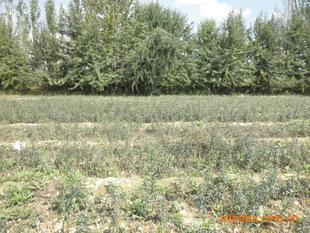 高原特级优质沙棘果种苗