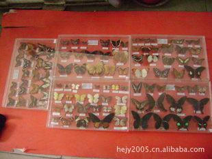 专业提供昆虫标本 各种生物昆虫标本 教学专用