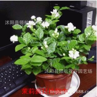 四季常青盆栽花卉