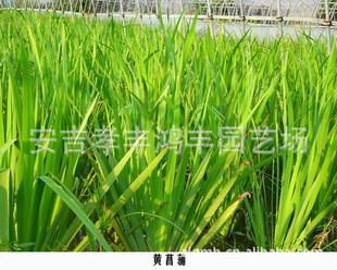 大量供应黄菖蒲,石菖蒲,花叶菖蒲等水生湿地植物,价格从优