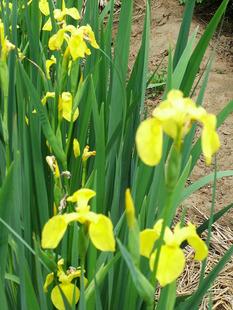 绿化工程水生植物价格黄菖蒲售价、黄菖蒲价格、花菖蒲报价表
