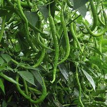 批发代收各类海南冬季,菜椒,尖椒、冬季瓜菜