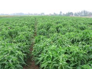 现货优价大量供应紫锥菊提取物-紫锥菊多酚、菊苣酸