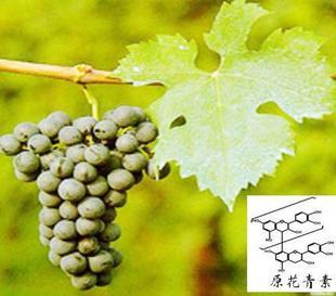 优价供应葡萄籽提取物-95%原花青素