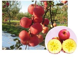 正宗  新疆阿克苏冰糖心苹果 丰美多汁