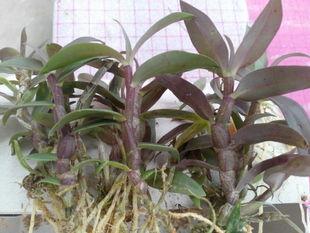 软脚红杆铁皮石斛种苗,云南广南源种,瓶苗、驯化苗都有