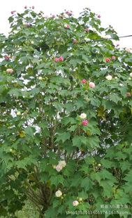 供应观花木芙蓉 木芙蓉树 园林绿花苗木 木芙蓉苗木 价低于同行