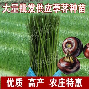 广西荔浦高产荸荠 荸荠种子 种苗 马蹄种子种苗小苗种苗大苗
