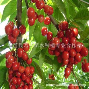 供应樱桃苗、岱红樱桃苗、优质樱桃苗种苗、大樱桃树苗 基地直销