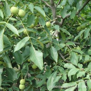 批发优质果树苗 核桃树苗 新品种桃树苗 当年结果欢迎
