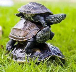 的宠物龟_乌龟活体宠物金线龟中华草龟水陆龟墨龟情侣龟7-10cm一对镇宅招财