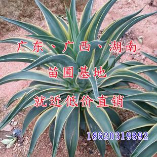 优质园艺植物 进口金边龙舌兰 苗圃基地价格优惠