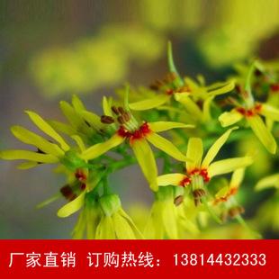北京栾树苗 基地直销栾树小苗 速生栾树绿化工程 成活率高
