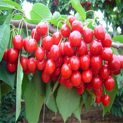 泰肥农场批发果型端正岱红樱桃苗 果柄短岱红樱桃苗 价格实惠