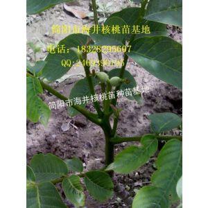 供应贵州核桃苗,贵州核桃苗产量,贵州核桃苗苗圃