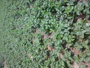 提供草莓苗,红颜草莓苗,全明星草莓苗,法兰蒂草莓苗