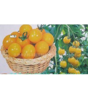 供应番茄种子★番茄种子价格★高产番茄种子★进口番茄种子批发