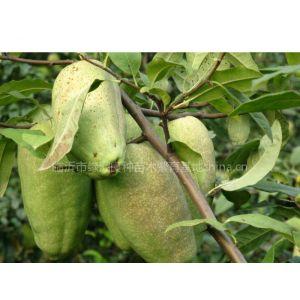 供应供木瓜苗、木瓜果、木瓜种子