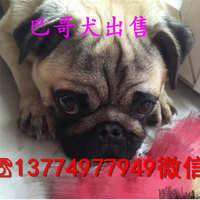 纯种巴哥犬价格哪里有好的巴哥犬小狗出售