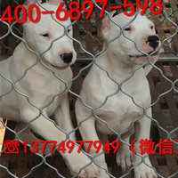 纯种杜高犬价格哪里有好的杜高犬小狗出售野猪的克星