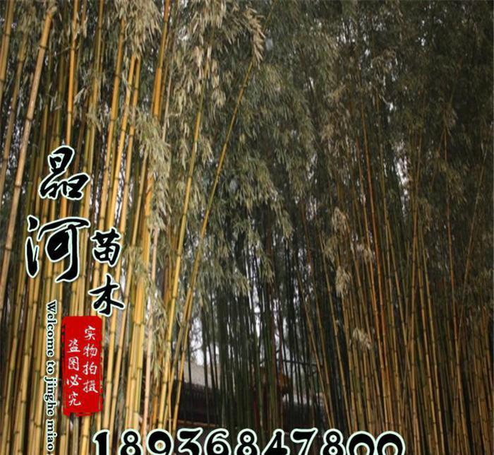月光下的风尾竹