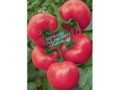 鹿特丹番茄种子/番茄种子