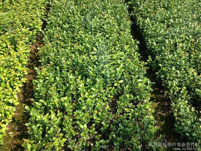 供应茶花各类品种茶苗等苗圃5cm—120cm茶叶茶花桂花苗圃