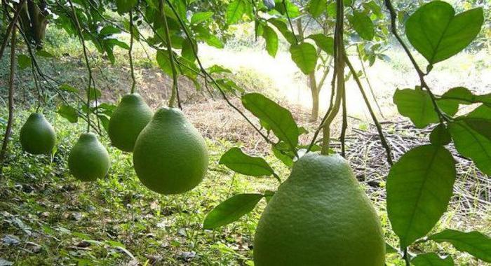 四川特产柚子
