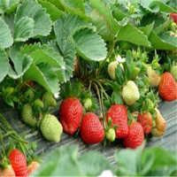 全明星草莓苗品种纯正产量高抗寒抗旱成活率高火热预定中