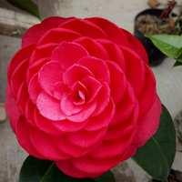 赤丹茶花绿植花卉盆栽阳台室内客厅花苗庭院植物正品六角大红