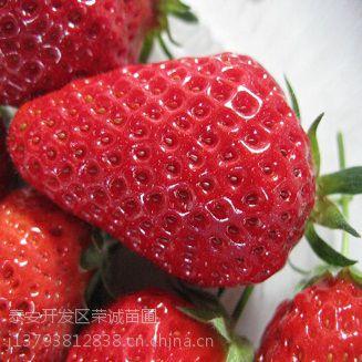 草莓苗大量供应草莓苗批发报价
