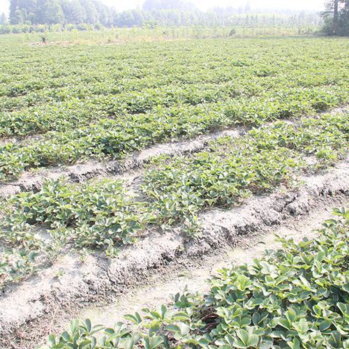 126草莓种植/草莓种苗/草莓批发/草莓苗批发/草莓种苗批发/草莓/草莓苗/草莓基地/草莓批发