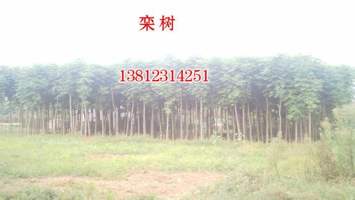 供应栾树,2-15公分栾树,栾树价格栾树