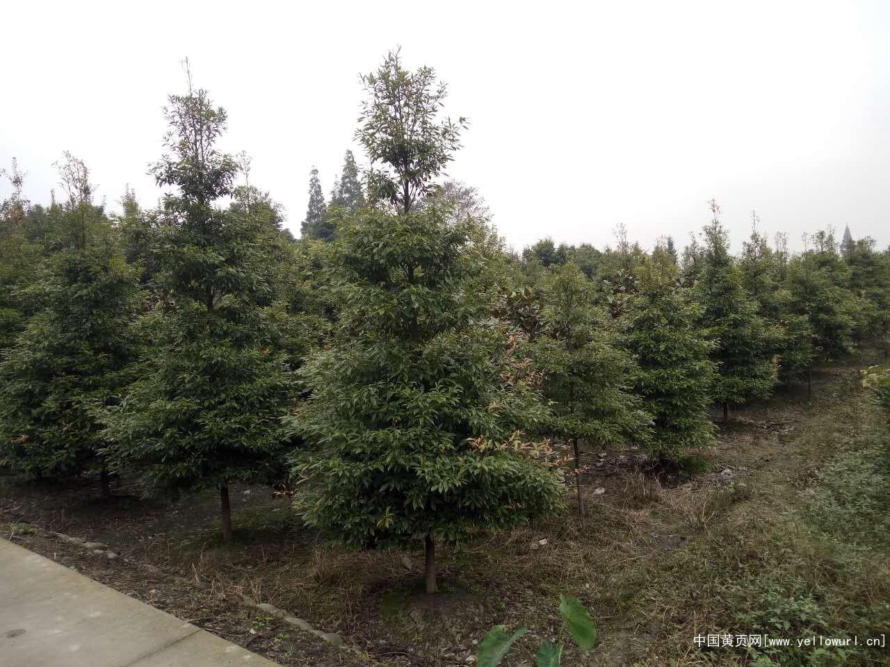 金丝楠木树专业供应商,细叶金丝楠木树苗