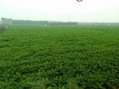 500亩优质臭椿小苗,优质供应