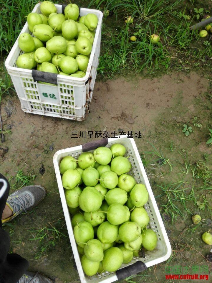 山东滨州早酥梨原产地大量批发