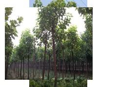 楸树绿化苗木