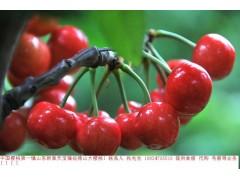 供应优质山东天宝徂徕山大樱桃