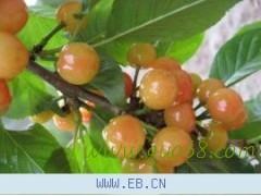 山东泰安大樱桃供应