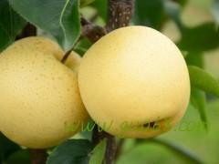 砀山皇冠梨圆黄梨已成熟