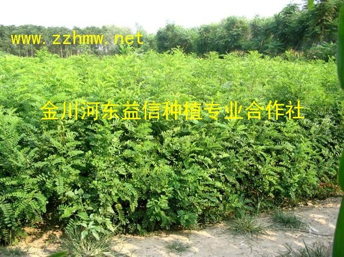 刺槐苗,50cm--1.2m高量大