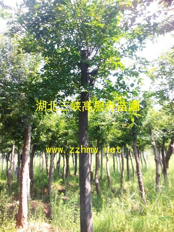 出售朴树|货源充足|规格齐全