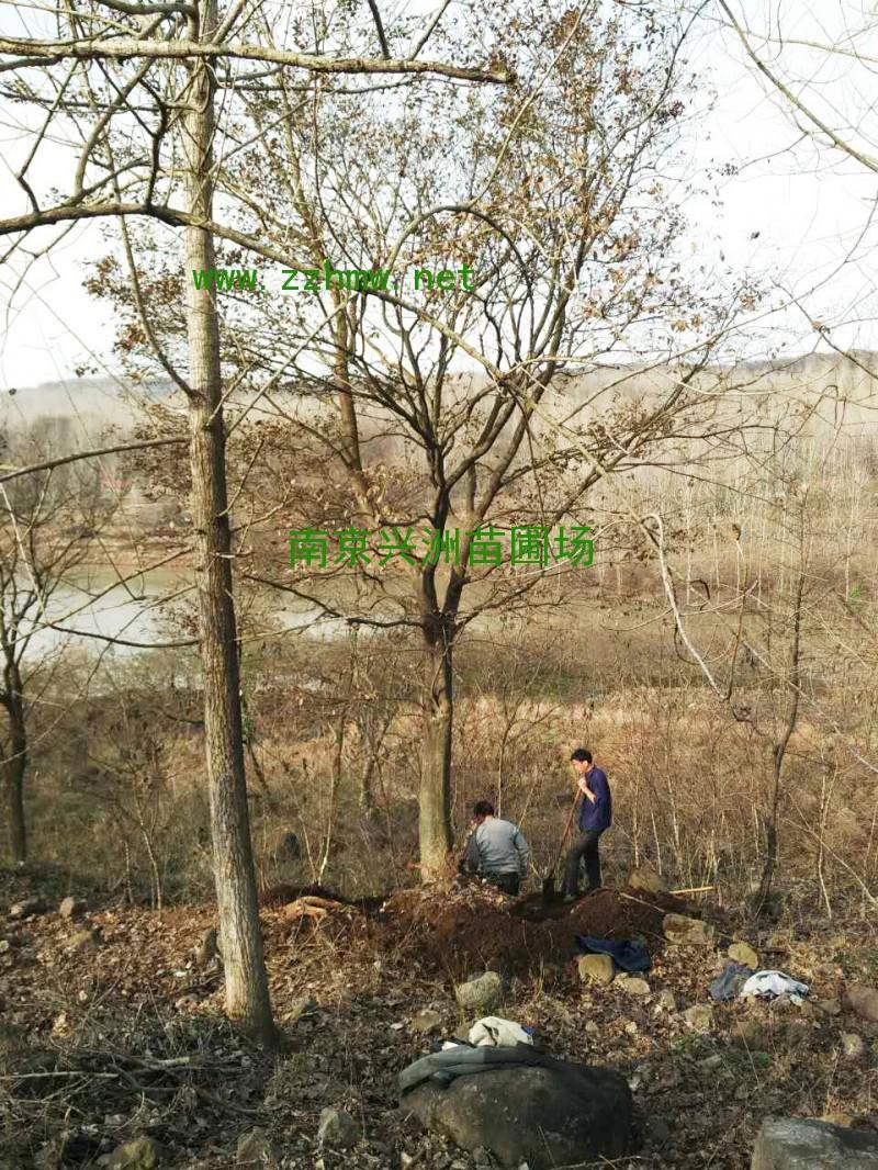 自产自销优质朴树/实物图