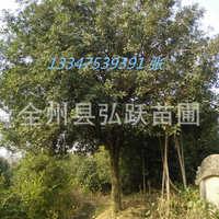 厂价直售 桂花树苗 四季桂花树 八月桂 树型优美 欢迎来电