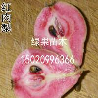 梨树新品种 红肉红心梨树苗 红肉梨苗 基地直销 南方北方种植果树