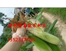 供应批发嫩玉米穗